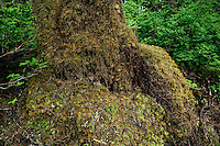 Rainforest tree trunk covered with moss, Alaska, USA