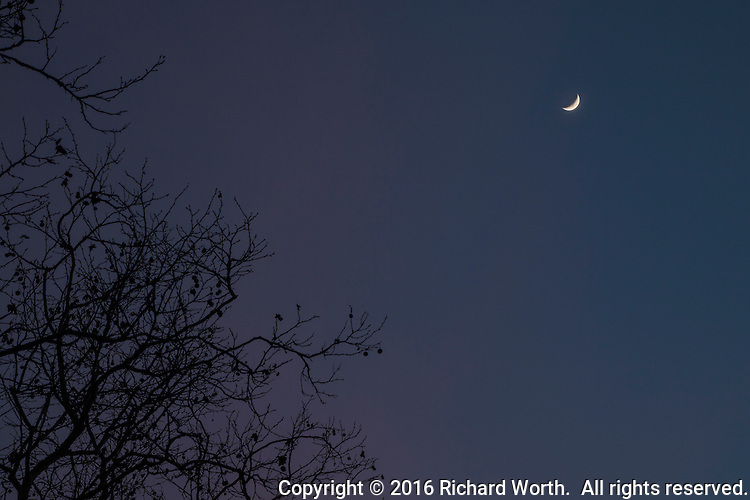 With sunset light giving thin clouds a warm glow, the waxing crescent moon shines above a tangle of bare branches at a neighborhood park.