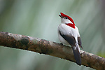 The critically endangered Araripe Manakin was discovered in 1996 and is one of the world's most striking songbirds. It inhabits an extremely small range in northeast Brazil on the slopes of the arid Araripe Plateau. Less than 1000 individuals remain in 11 square miles of fragmented, second-growth gallery forest surrounding spring-fed streams where they nest.
