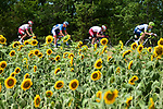 The breakaway, featuring Stephane Rossetto and Anthony Perez (FRA) Cofidis, Aime De Gendt (BEL) Wanty-Gobert and local Albi man Lilian Calmejane (FRA) Total Direct Energie, race by the sunflower fields during Stage 11 of the 2019 Tour de France running 167km from Albi to Toulouse, France. 17th July 2019.<br /> Picture: ASO/Alex Broadway | Cyclefile<br /> All photos usage must carry mandatory copyright credit (© Cyclefile | ASO/Alex Broadway)