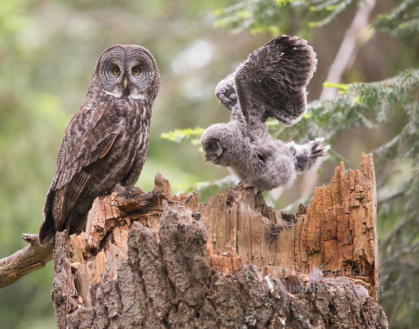 A female Great Gray Owl returns to the nest to keep her nestling warm and dry.