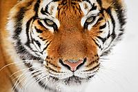 Siberian tiger, Amur tiger, Panthera tigris altaica, adult, in winter snow