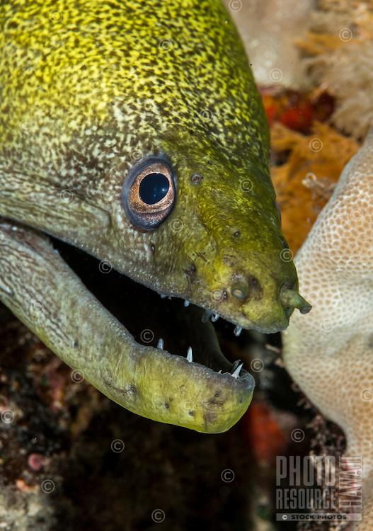 An underwater closeup of an undulated moray with sharp teeth along the Waianae coast of O'ahu.