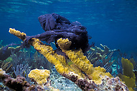 plastic trash bag caught on elkhorn coral, Acropora palmata, and smothering coral, Freeport, Bahamas, Caribbean (Western Atlantic Ocean)