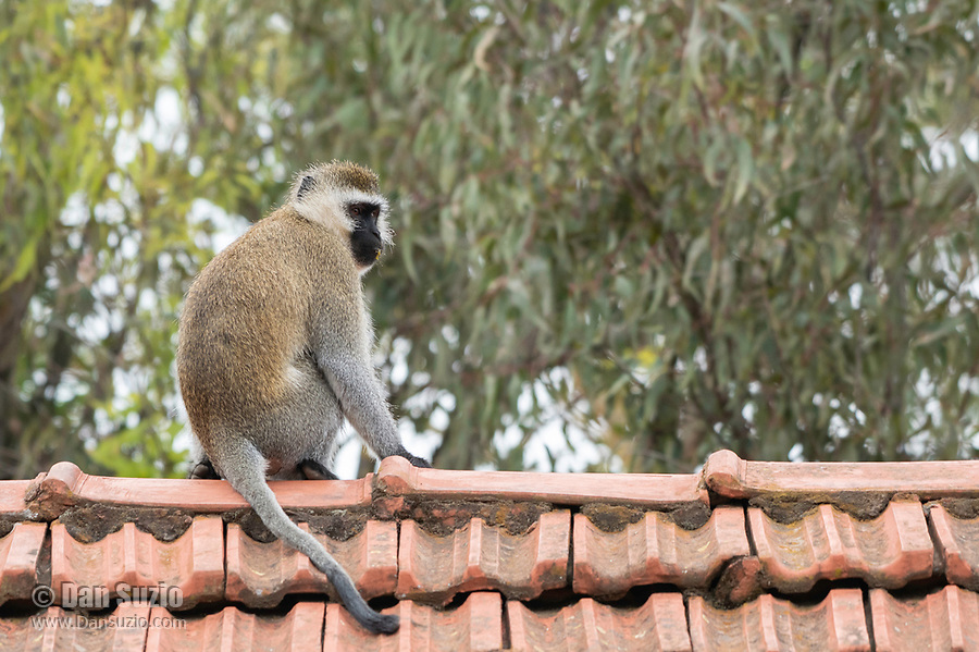 Black-faced Vervet Monkey, Chlorocebus pygerythrus, sits on a rooftop at Lake Naivasha Country Club, Kenya
