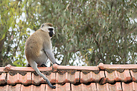 Black-faced Vervet Monkey, Chlorocebus pygerythrus, sits on a rooftop at Lake Naivasha Country Club, Kenya