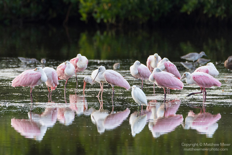 Ding Darling National Wildlife Refuge, Sanibel Island, Florida; a flock of Roseate Spoonbills reflecting in the calm shallow water