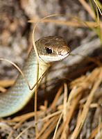 Snake - Racer