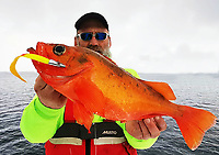 BNPS.co.uk (01202 558833)<br /> Pic: DaveWoodBrignall/BNPS<br /> <br /> Rose gold... the record breaking catch. <br /> <br /> A British angler struck gold when he caught a record rose fish.<br /> <br /> The unusual specimen, that looks more like giant gold fish, was caught by Dave Wood-Brignall during a sea fishing trip to Bodo, Norway.<br /> <br /> It weighed 4lbs 10ozs, making it a European record for the vivid specimen that is also known as an Atlantic redfish.