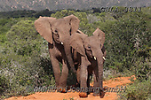 Bob, ANIMALS, REALISTISCHE TIERE, ANIMALES REALISTICOS, wildlife, photos+++++,GBLA3811,#a#, EVERYDAY<br />