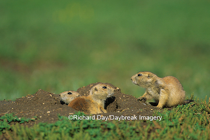 01998-00404 Black-tailed Prairie Dogs (Cynomys ludovicianus)    ND