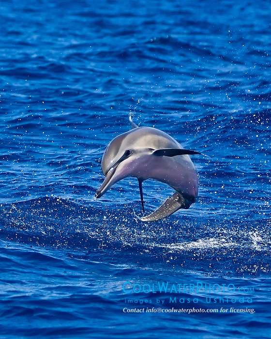 Hawaiian spinner dolphin, Stenella longirostris longirostris, calf jumping, Kona Coast, Big Island, Hawaii, USA, Pacific Ocean