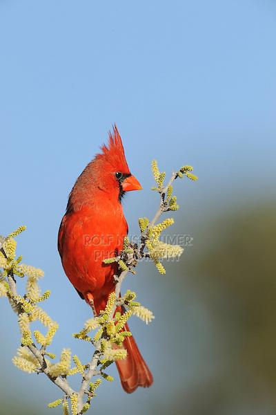 Northern Cardinal (Cardinalis cardinalis), adult male on blooming Blackbrush Acacia (Acacia rigidula), Dinero, Lake Corpus Christi, South Texas, USA