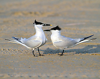 Pair of sandwich terns