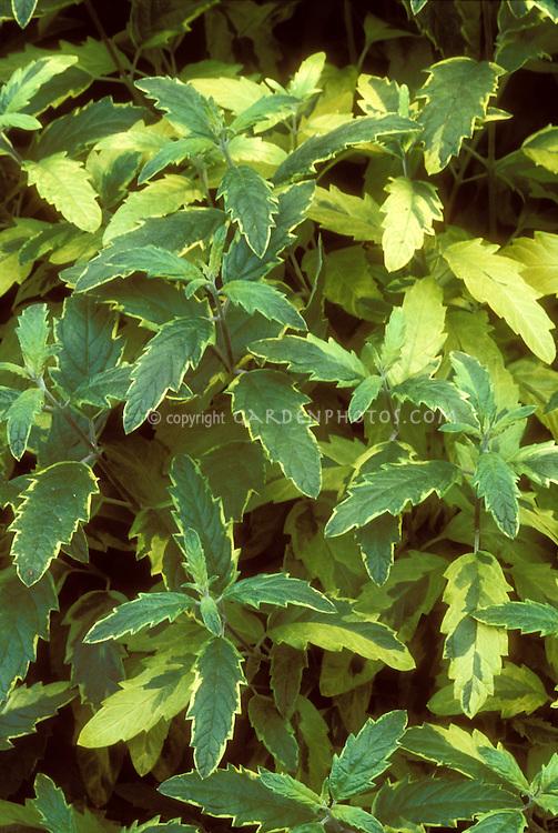 Caryopteris x clandonensis 'Summer Sorbet' variegated leaves shrub