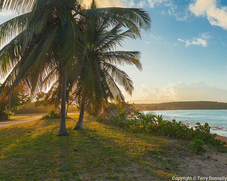 Vieques, Puerto Rico: Morning sun on a group of palm trees and beach at Sun Bay