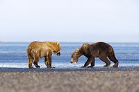 Showdown between Lady Hook and Evil Bastard. Kodiak grizzly bear (Ursus arctos middendorffi), Hallo Bay