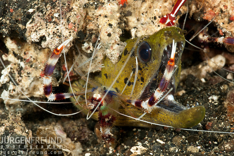 Spot-face moray eel (Gymnothorax fimbriatus) getting cleaned by banded coral shrimps (Stenopus hispidus)