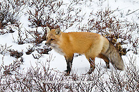 01871-02812 Red Fox (Vulpes vulpes) in snow in winter, Churchill Wildlife Management Area, Churchill, MB Canada