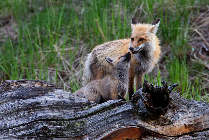 This fox (Vulpes vulpes) kit begs its parent for food to be regurgitated. Baby food the wild way!