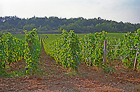 Vineyard in Chambolle Musigny, Bourgogne