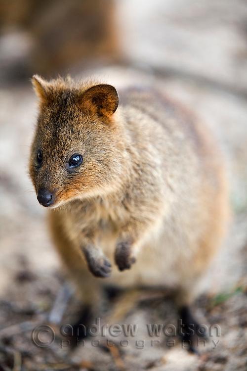 A Quokka (Setonix brachyurus) - a small marsupial native only to Rottnest Island, Western Australia, AUSTRALIA.