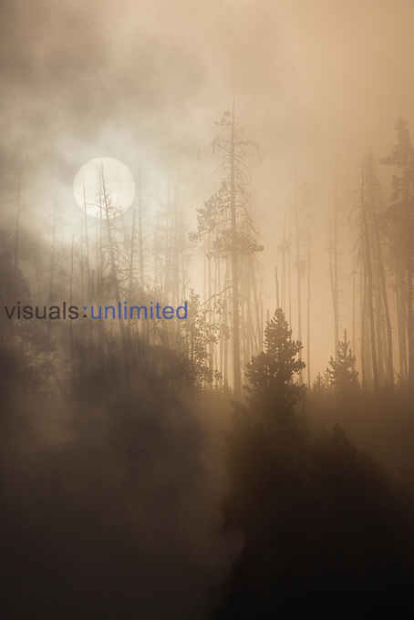 Mist and fog at sunrise in the Lodgepole Pine forest (Pinus contorta) along the Firehole River, Upper Geyser Basin, Yellowstone National Park, Wyoming, USA.