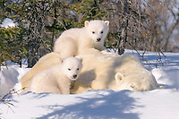 Mother Polar Bear, Ursus maritimus, with 3 month old cubs near Wapusk Park, northern Manitoba, Canada., polar bear, Ursus maritimus