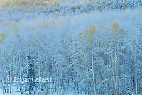 Aspen in Snow, Wilson Mesa, Uncompahgre National Forest, Colorado