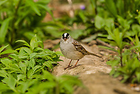 White-crowned Sparrow (Zonotrichia leucophrys).  Great Lakes Region, May.