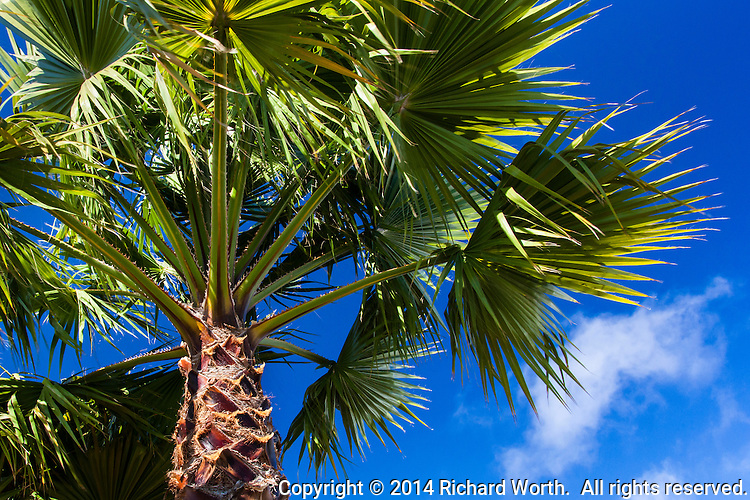 Looking up into the fronds of a palm set against a brilliant blue summer sky with whisps of clouds floating by.