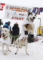 Saturday, March 3, 2012  Wade Marrs' dog Louie (right) jumps in anticipation of leaving the  Ceremonial Start of Iditarod 2012 in Anchorage, Alaska.