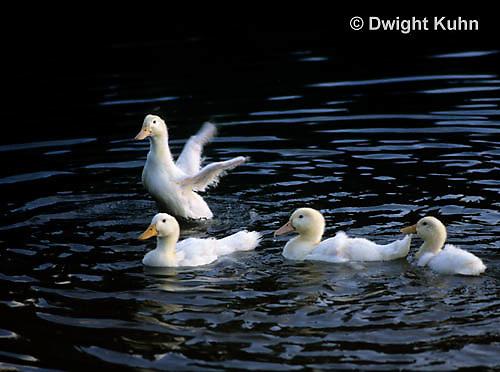 DG13-025x  Pekin Duck - immature adult splashing and swimming in pond