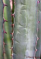 "1201-0804  Details of Thorns on Variegated Juamave Fiber Plant ""Marginata"", Agave funkiana © David Kuhn/Dwight Kuhn Photography"