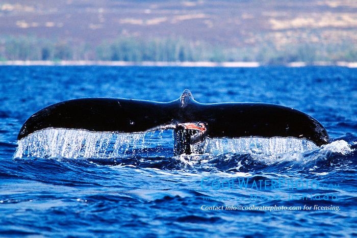 humpback whale with mutilated fluke, .Megaptera novaeangliae, .Hawaii (Pacific).