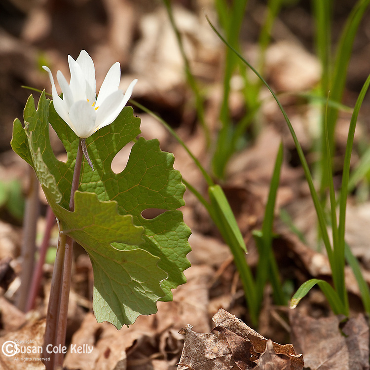 Bloodroot (Sanguinaria canadensis) in Pomfret, VT, USA