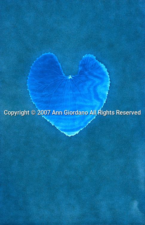 Cyanotype print of heart shaped leaf