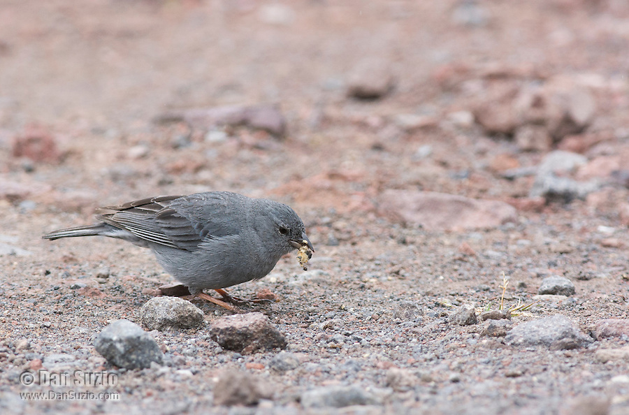 Male Plumbeous sierra finch, Phrygilus unicolor, eating scraps of food in a parking area at Antisana Ecological Reserve, Ecuador