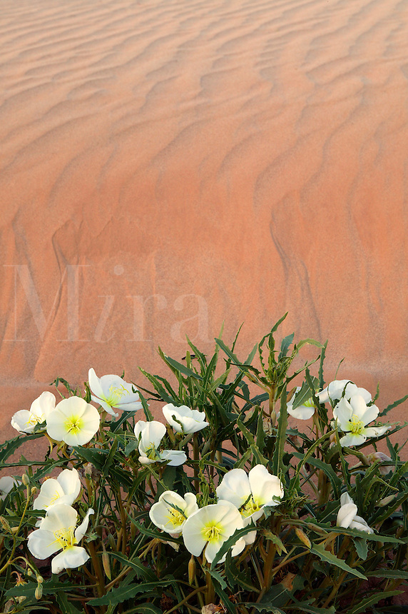 Sand Verbena (Abronia villosa) and Dune Evening Primrose (Oenothera deltoides), Imperial Sand Dunes Recreation Area, Southern California