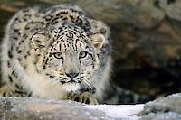 Snow Leopard (Panthera uncia) or (Uncia uncia)