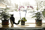 Hillary cat looking out window with orchids and evergreen tree plants in it on snowy morning, February 5, 2014, Merrick, New York, USA