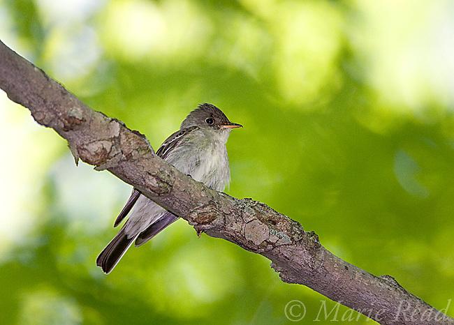 Eastern Wood-Pewee (Contopus virens), New York, USA