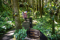 Several tourists stroll through the palm jungle near the Onomea waterfalls at Hawaii Tropical Botanical Garden, Papa'ikou, Big Island of Hawaiʻi.