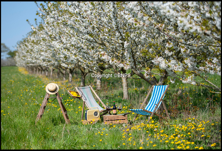 BNPS.co.uk (01202 558833)<br /> Pic: PhilYeomans/BNPS<br /> <br /> Easter heatwave boost to Britain's cherry growers...<br /> <br /> Cherry juice makers Laurie Griffin & Hayley Davis  can afford to relax this Easter as the glorious weather has provided a stunning crop of blossom that should ensure a bumber harvest come July.<br /> <br /> The huge orchard near Milborne St Andrew in Dorset is one of the only outdoor cherry farms in the UK, and relies on the vagaries of the British climate each year to produce a good crop.<br /> <br /> Cherry juice is increasing in popularity because of its antioxidant and health giving properties.
