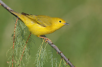 American Yellow Warbler - Setophaga petechia - Adult female