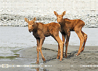 Twin moose calves waiting for their mother on a gravel bar in the middle of the Matanuska River look up at the approach of a raft.