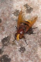 Große Waldschwebfliege, Grosse Wald-Schwebfliege, Hornissenschwebfliege, Hornissen-Schwebfliege, Riesen-Hummelschwebfliege, imitiert das Aussehen von Hornissen, um Schutz vor Fressfeinden zu haben, Tarnung, Mimikry, Volucella zonaria, hornet mimic hoverfly