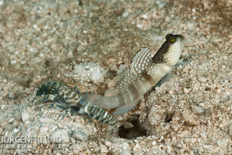 Banded shrimp goby (Cryptocentrus cinctus) with snapping shrimp partner (Alpheus sp.)