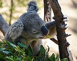 Cute Koala Bear waking up surrounded by Eucalyptus.