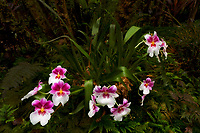 Princes Diana Orchid. Hawaii Tropical Botanical Gardens, The Big Island, Hawaii